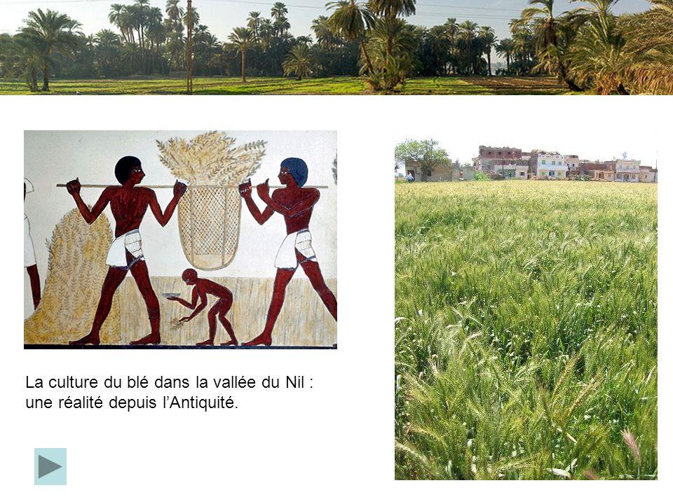 La culture du blé dans la vallée du Nil : une réalité depuis l'Antiquité.