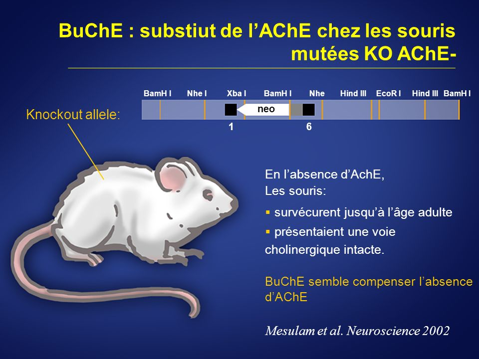 Preclinical Evidence: A Regulatory Role for BuChE