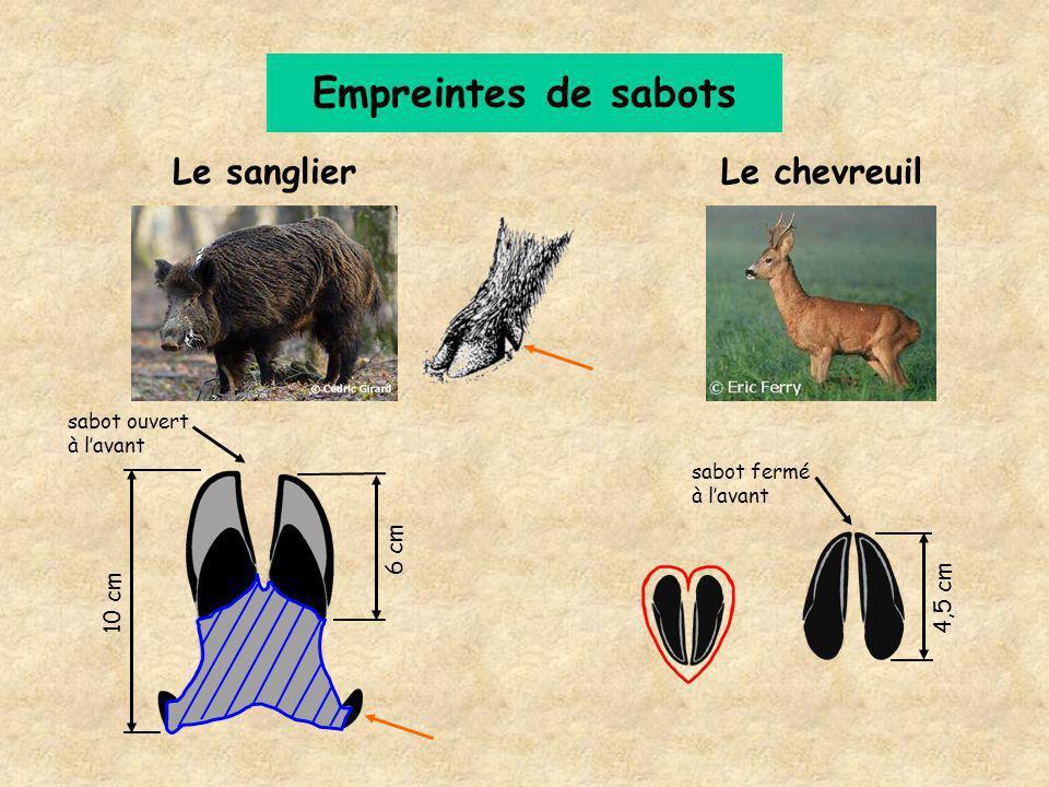 Empreintes de sabots Le sanglier Le chevreuil 6 cm 4,5 cm 10 cm
