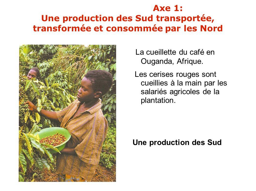 La cueillette du café en Ouganda, Afrique.