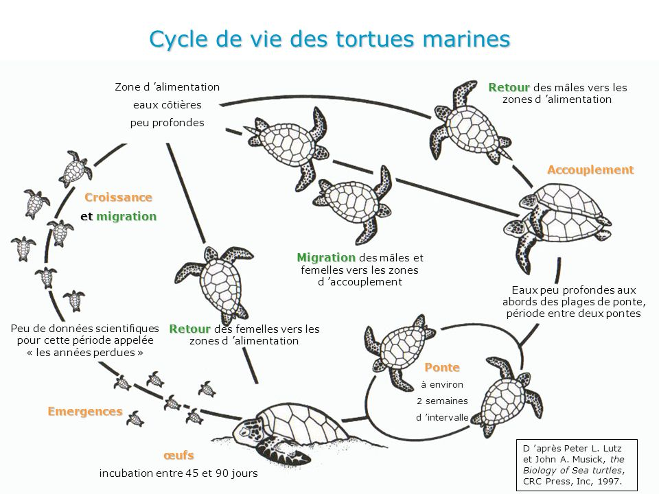 Cycle de vie des tortues marines