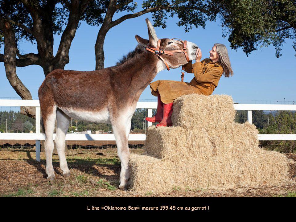 L âne «Oklahoma Sam» mesure 155.45 cm au garrot !