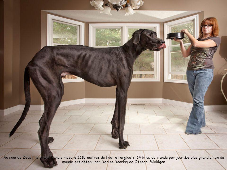 Zeus, le plus grand chien du monde qui engloutit 14 kilos de viande par jour Image: AFP