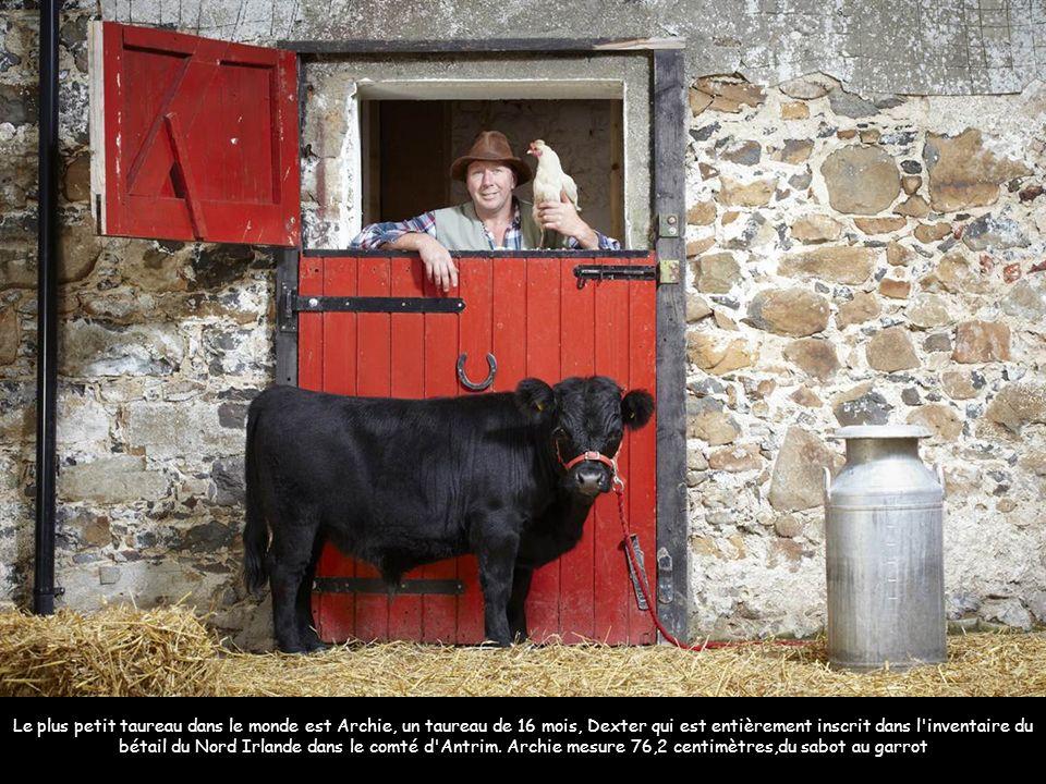 Le plus petit taureau dans le monde est Archie, un taureau de 16 mois, Dexter qui est entièrement inscrit dans l inventaire du bétail du Nord Irlande dans le comté d Antrim.