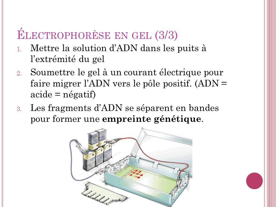 Électrophorèse en gel (3/3)