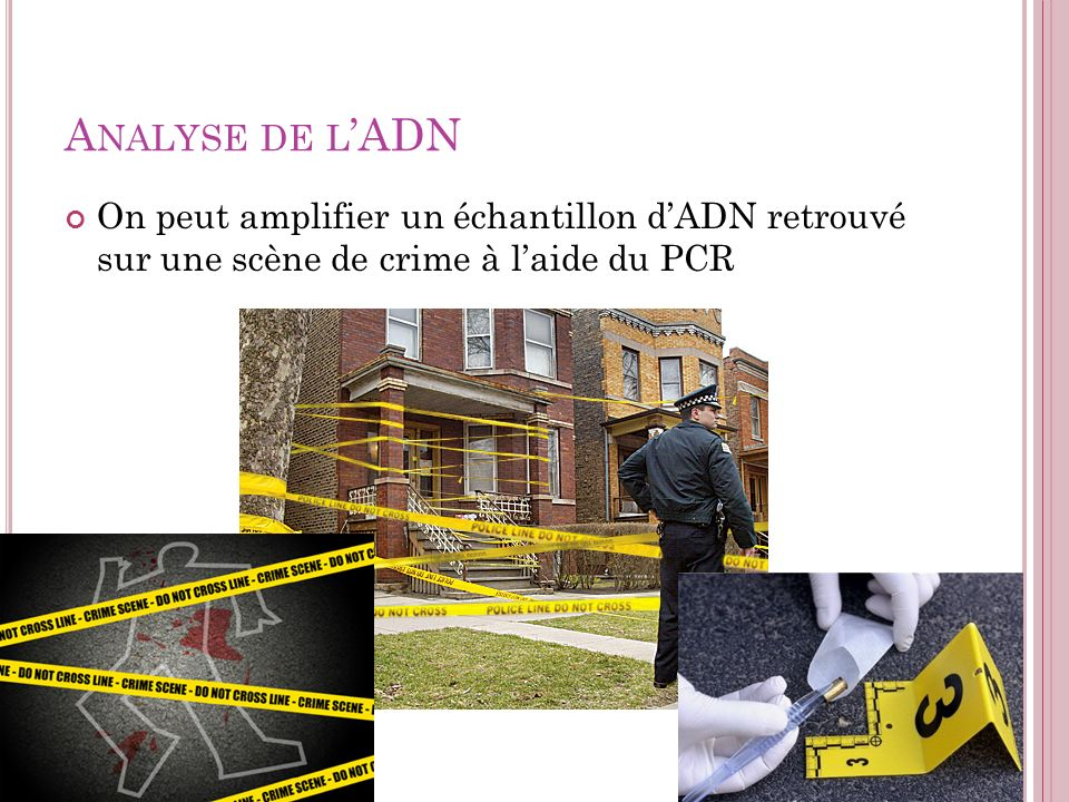 Analyse de l'ADN On peut amplifier un échantillon d'ADN retrouvé sur une scène de crime à l'aide du PCR.