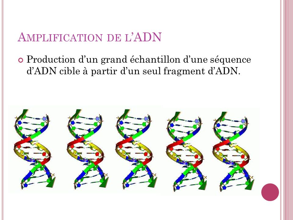 Amplification de l'ADN