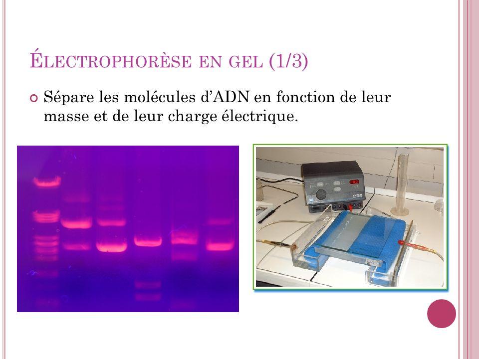 Électrophorèse en gel (1/3)