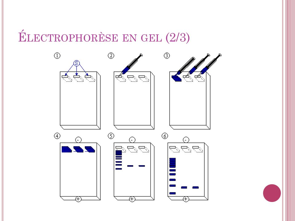 Électrophorèse en gel (2/3)