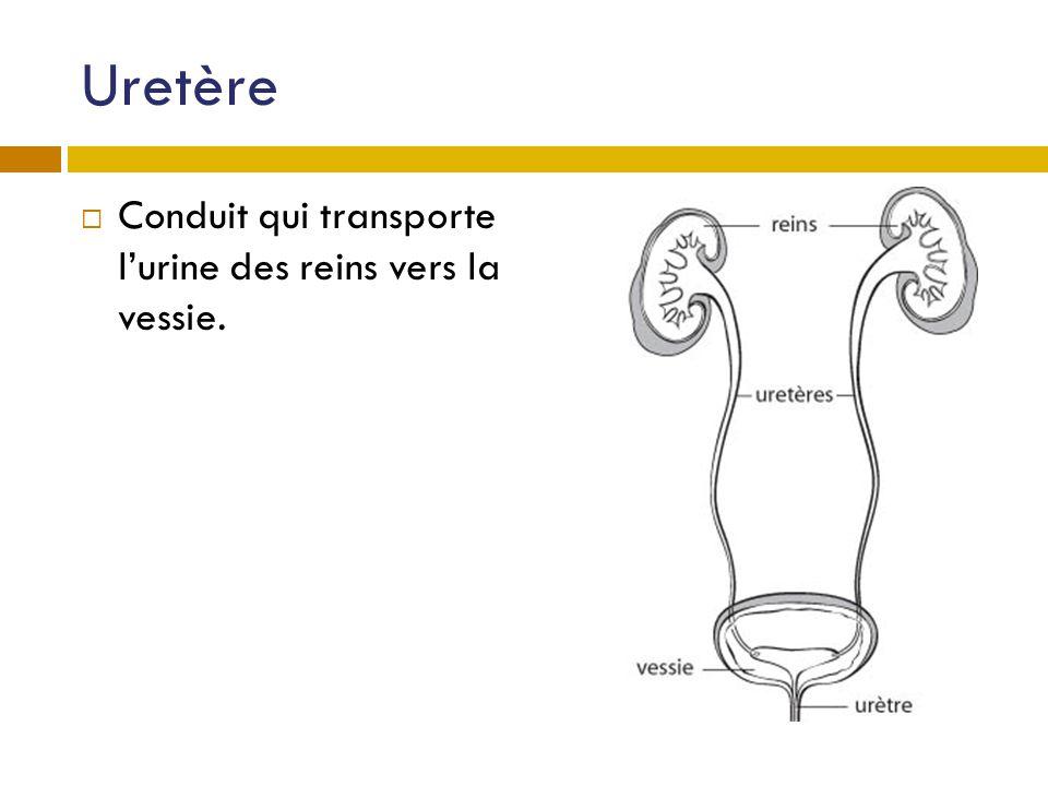 Uretère Conduit qui transporte l'urine des reins vers la vessie.