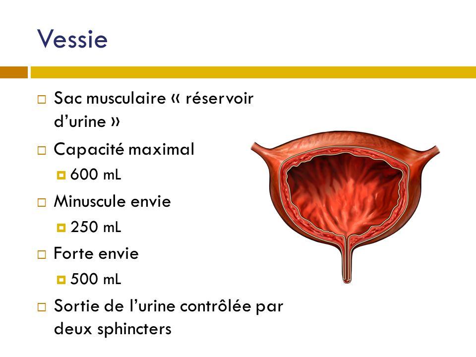 Vessie Sac musculaire « réservoir d'urine » Capacité maximal