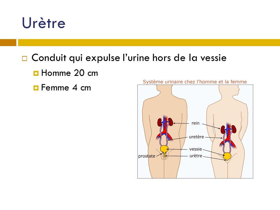 Urètre Conduit qui expulse l'urine hors de la vessie Homme 20 cm