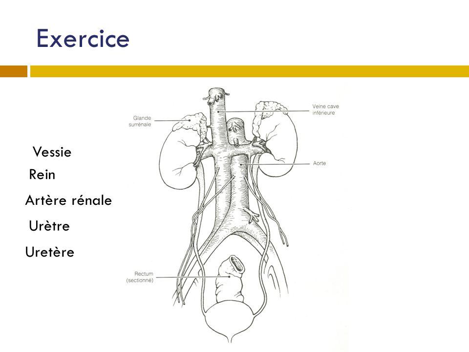 Exercice Vessie Rein Artère rénale Urètre Uretère