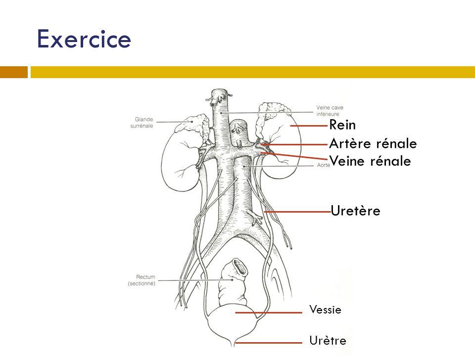 Exercice Rein Artère rénale Veine rénale Uretère Vessie Urètre