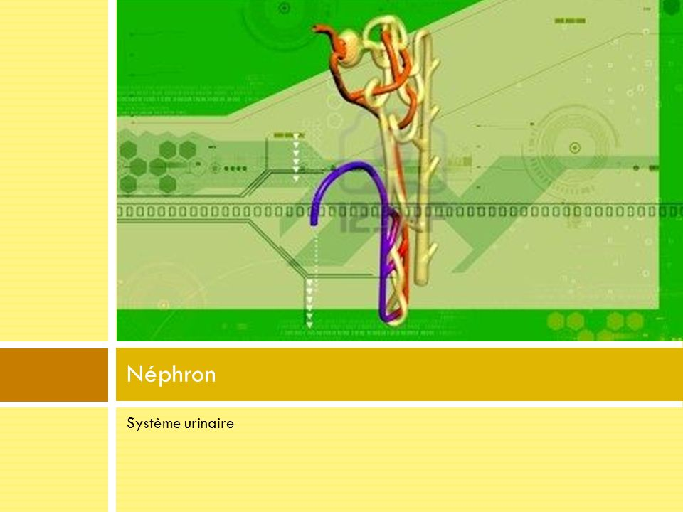 Néphron Système urinaire