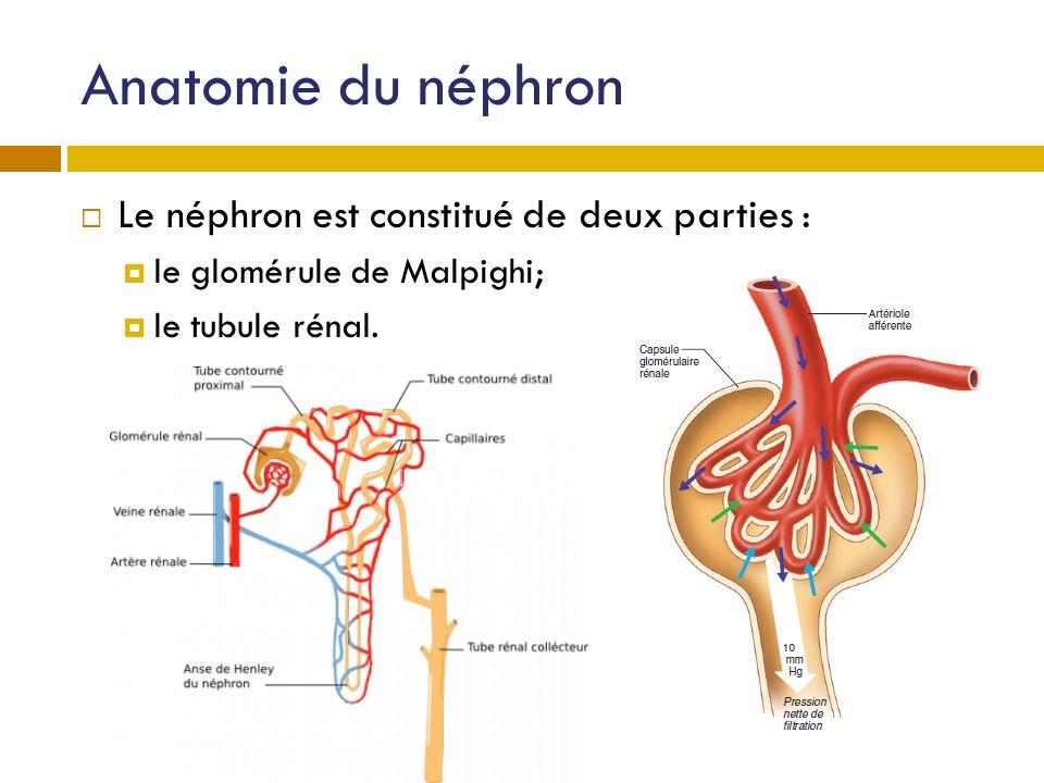 Anatomie du néphron Le néphron est constitué de deux parties :