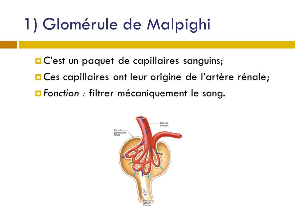 1) Glomérule de Malpighi