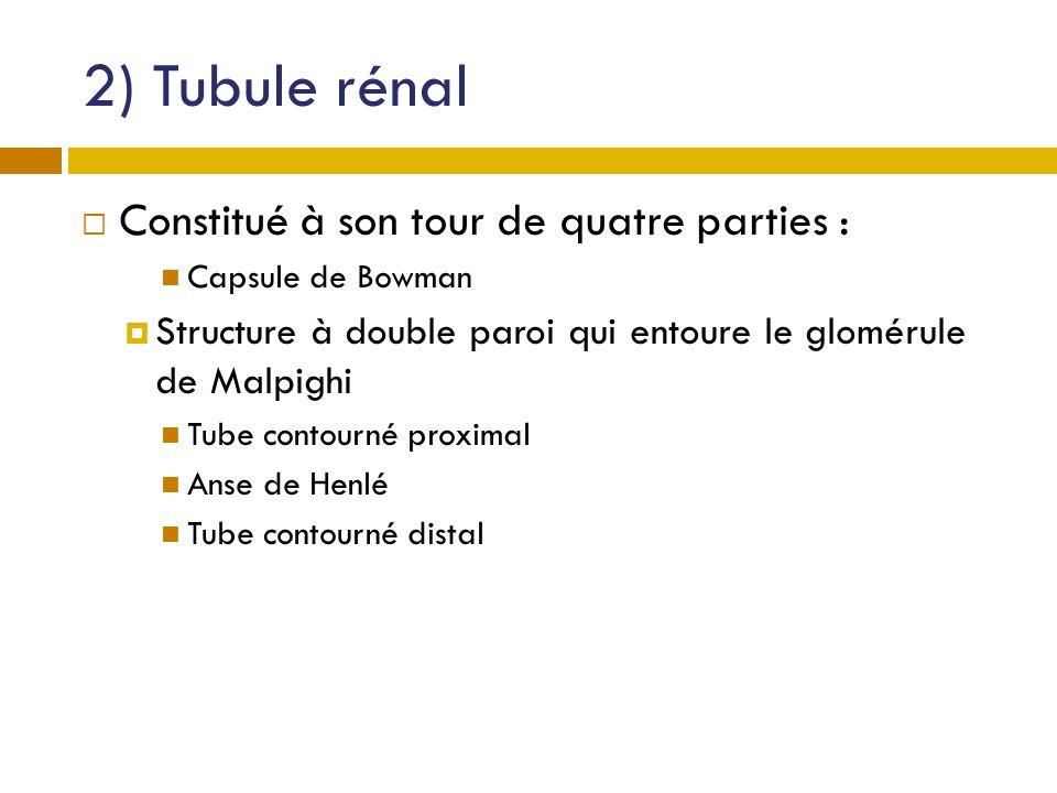 2) Tubule rénal Constitué à son tour de quatre parties :