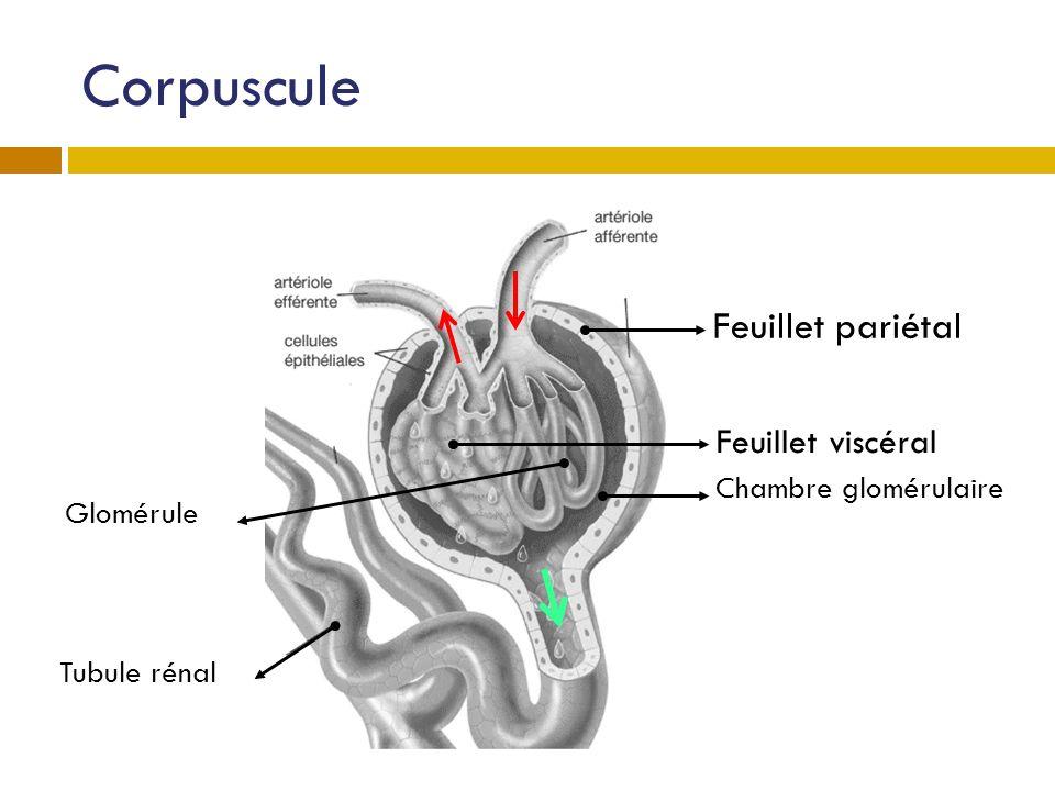 Corpuscule Feuillet pariétal Feuillet viscéral Chambre glomérulaire
