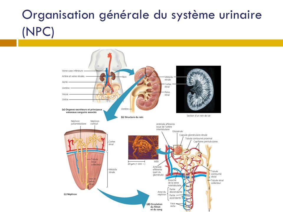 Organisation générale du système urinaire (NPC)