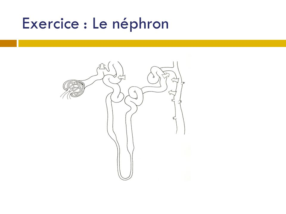 Exercice : Le néphron