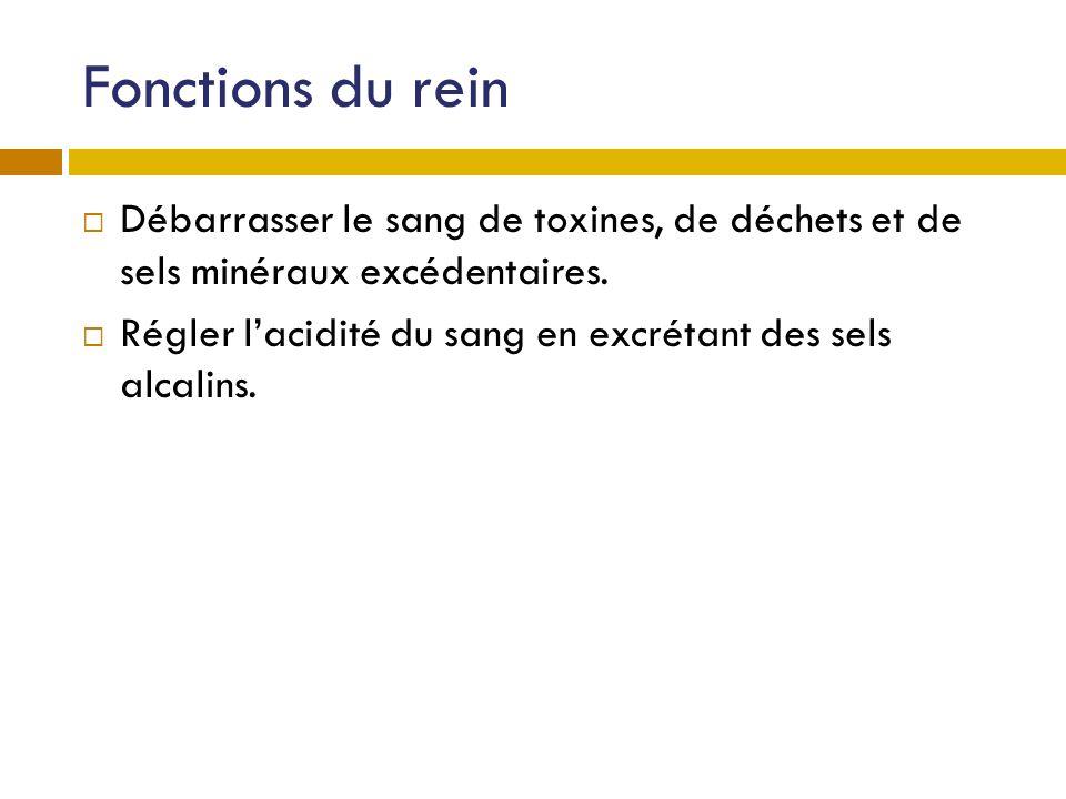 Fonctions du rein Débarrasser le sang de toxines, de déchets et de sels minéraux excédentaires.