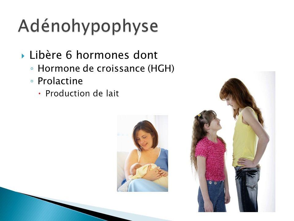 Adénohypophyse Libère 6 hormones dont Hormone de croissance (HGH)