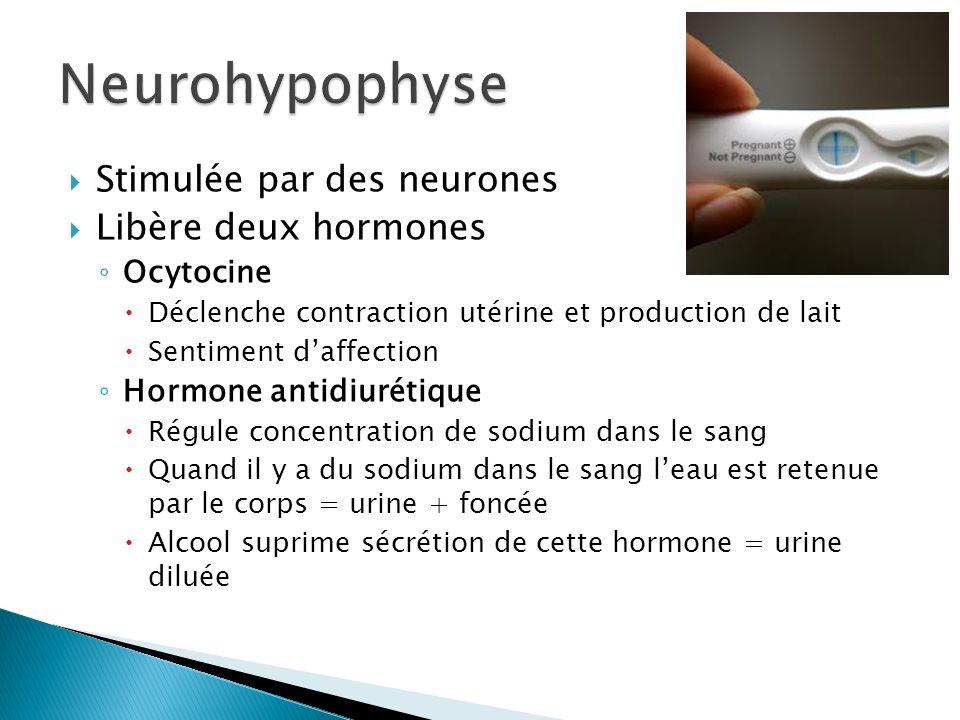 Neurohypophyse Stimulée par des neurones Libère deux hormones