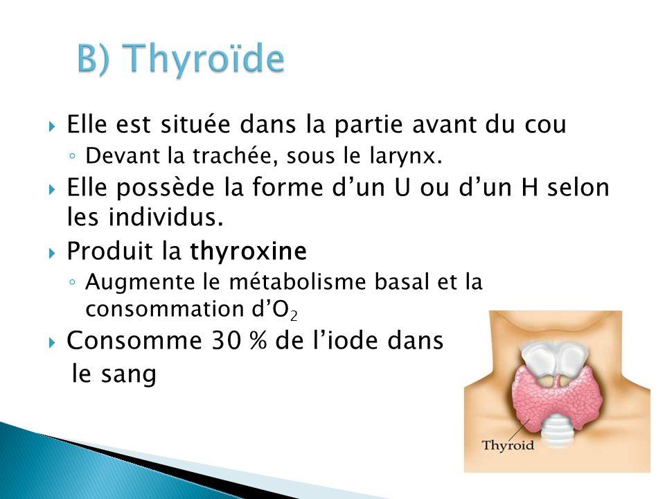 B) Thyroïde Elle est située dans la partie avant du cou