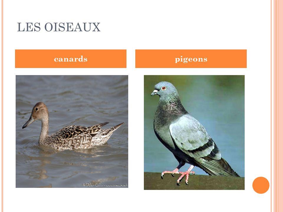 LES OISEAUX canards pigeons