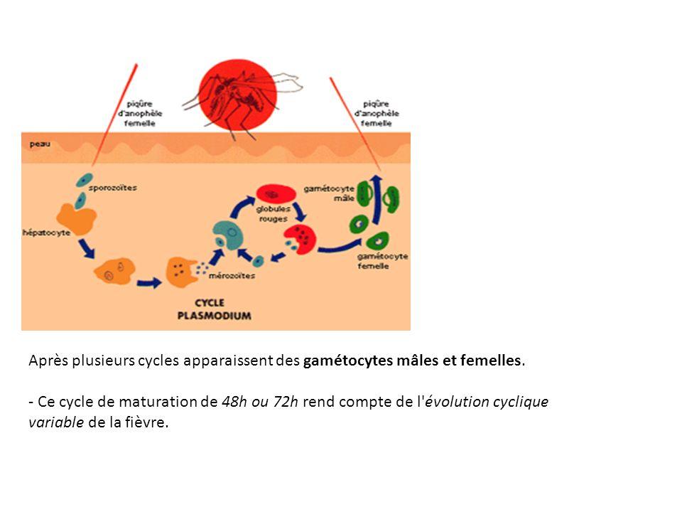 Après plusieurs cycles apparaissent des gamétocytes mâles et femelles.