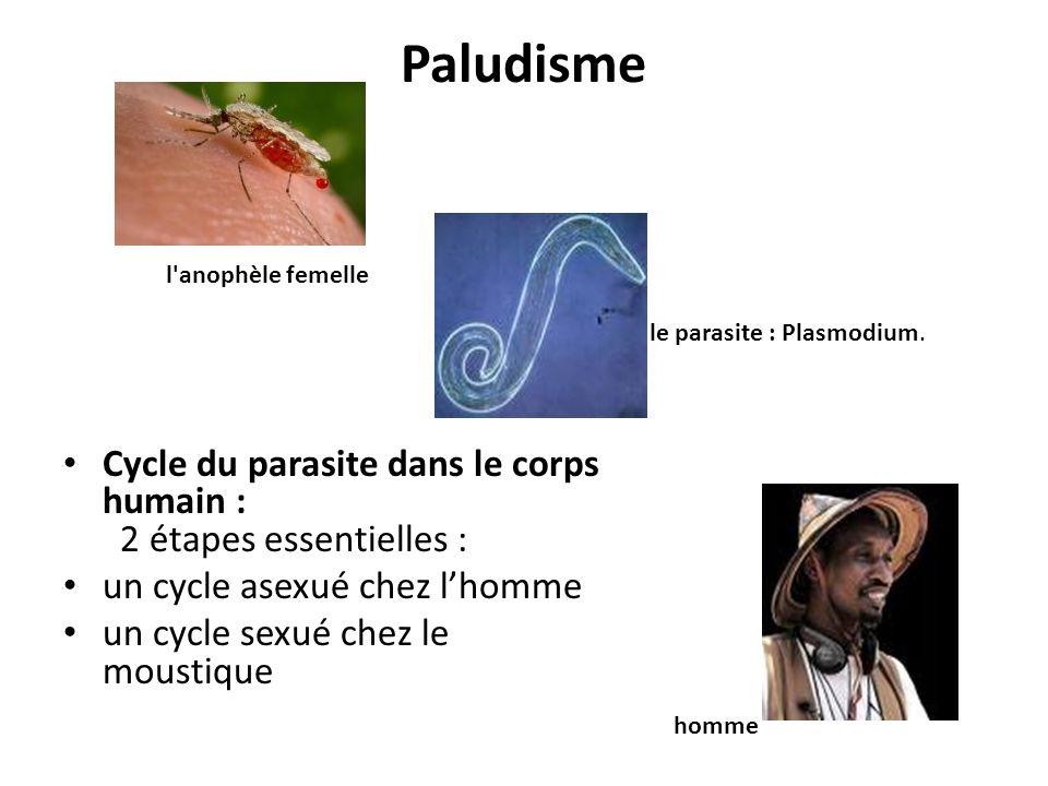 Paludisme l anophèle femelle. le parasite : Plasmodium. Cycle du parasite dans le corps humain : 2 étapes essentielles :