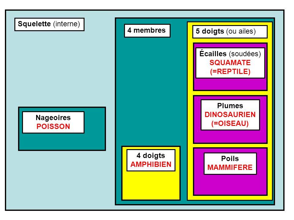 Squelette (interne) 4 membres. 5 doigts (ou ailes) Écailles (soudées) SQUAMATE. (=REPTILE) Plumes.