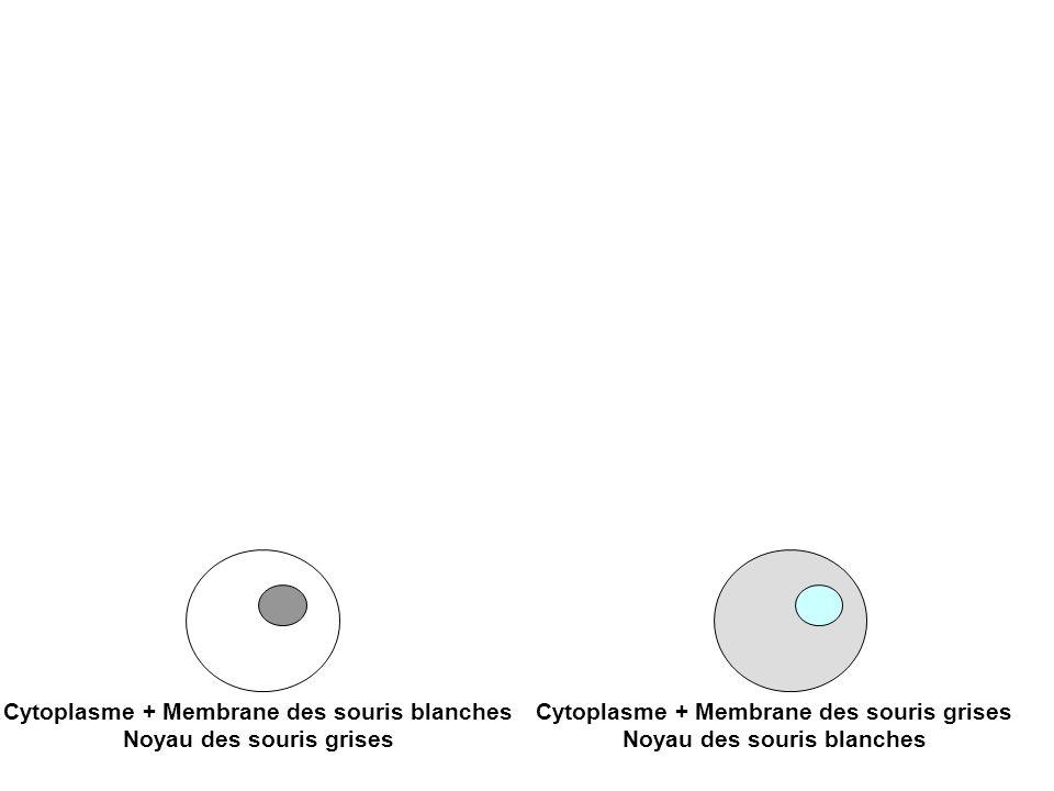 Cytoplasme + Membrane des souris blanches Noyau des souris grises