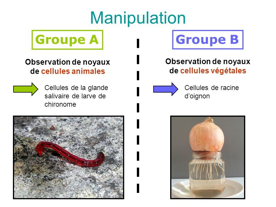 Manipulation Groupe A Groupe B Observation de noyaux