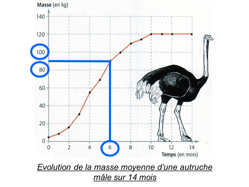Evolution de la masse moyenne d'une autruche mâle sur 14 mois
