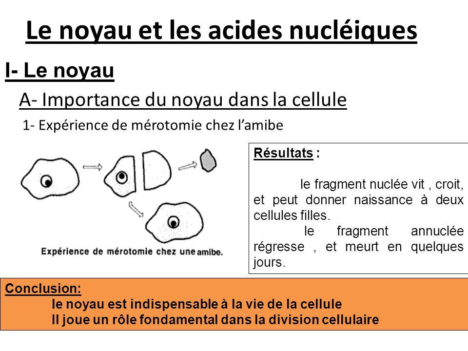 Le noyau et les acides nucléiques