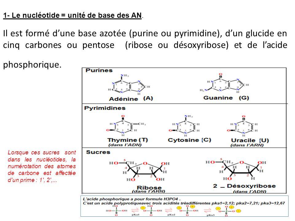 1- Le nucléotide = unité de base des AN.