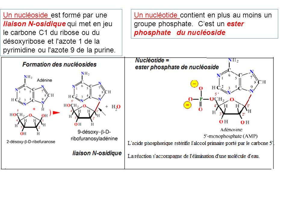 Un nucléoside est formé par une liaison N-osidique qui met en jeu le carbone C1 du ribose ou du désoxyribose et l azote 1 de la pyrimidine ou l azote 9 de la purine.