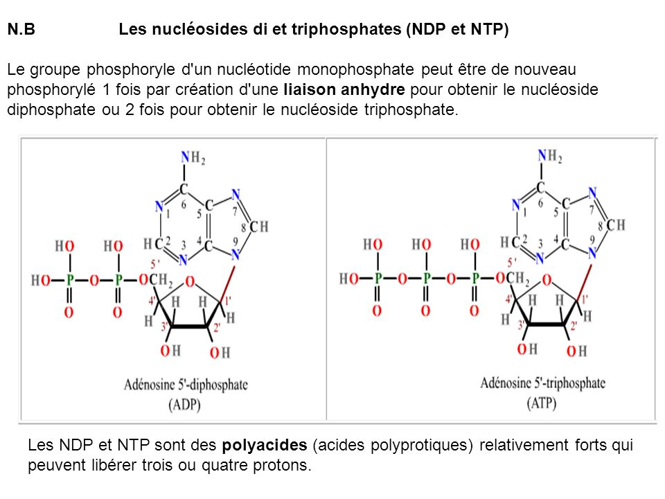 N.B Les nucléosides di et triphosphates (NDP et NTP)