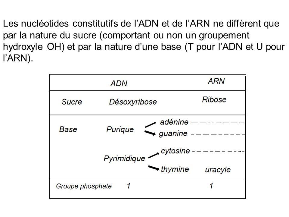 Les nucléotides constitutifs de l'ADN et de l'ARN ne diffèrent que par la nature du sucre (comportant ou non un groupement hydroxyle OH) et par la nature d'une base (T pour l'ADN et U pour l'ARN).