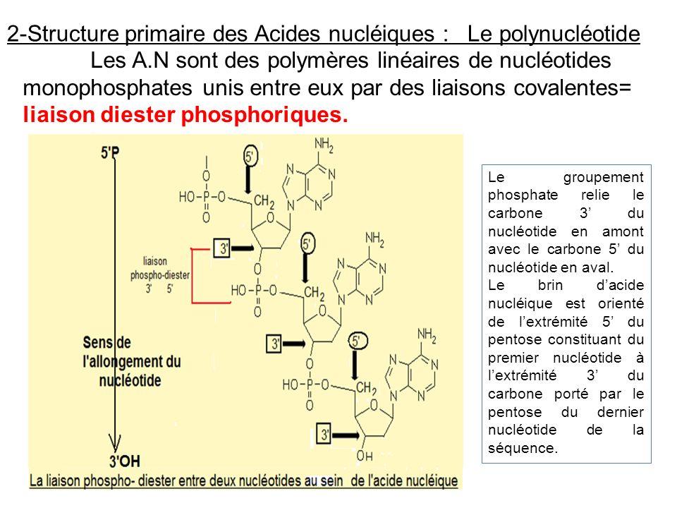 2-Structure primaire des Acides nucléiques : Le polynucléotide