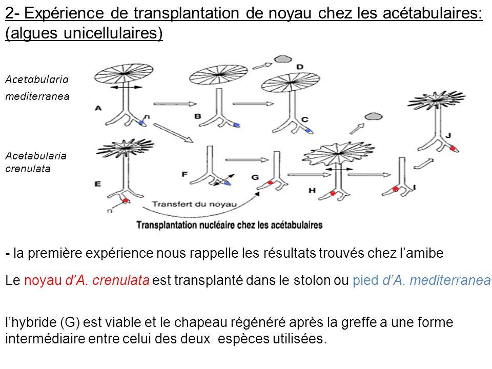 2- Expérience de transplantation de noyau chez les acétabulaires: