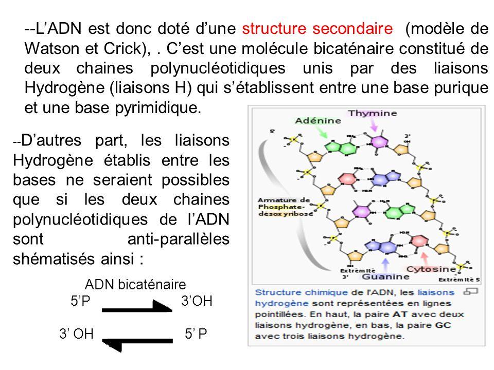--L'ADN est donc doté d'une structure secondaire (modèle de Watson et Crick), . C'est une molécule bicaténaire constitué de deux chaines polynucléotidiques unis par des liaisons Hydrogène (liaisons H) qui s'établissent entre une base purique et une base pyrimidique.