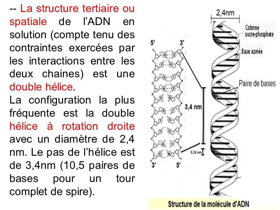 -- La structure tertiaire ou spatiale de l'ADN en solution (compte tenu des contraintes exercées par les interactions entre les deux chaines) est une double hélice.