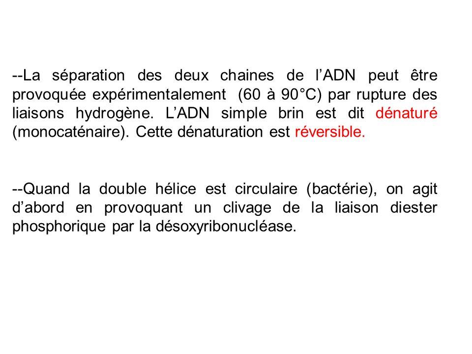 --La séparation des deux chaines de l'ADN peut être provoquée expérimentalement (60 à 90°C) par rupture des liaisons hydrogène. L'ADN simple brin est dit dénaturé (monocaténaire). Cette dénaturation est réversible.