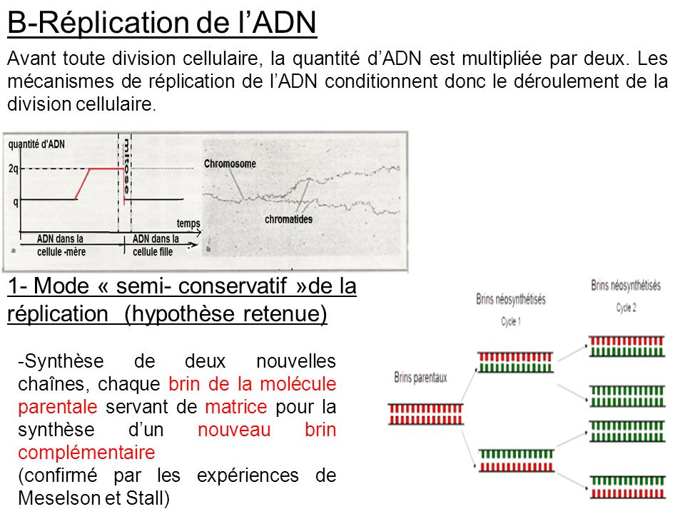 B-Réplication de l'ADN