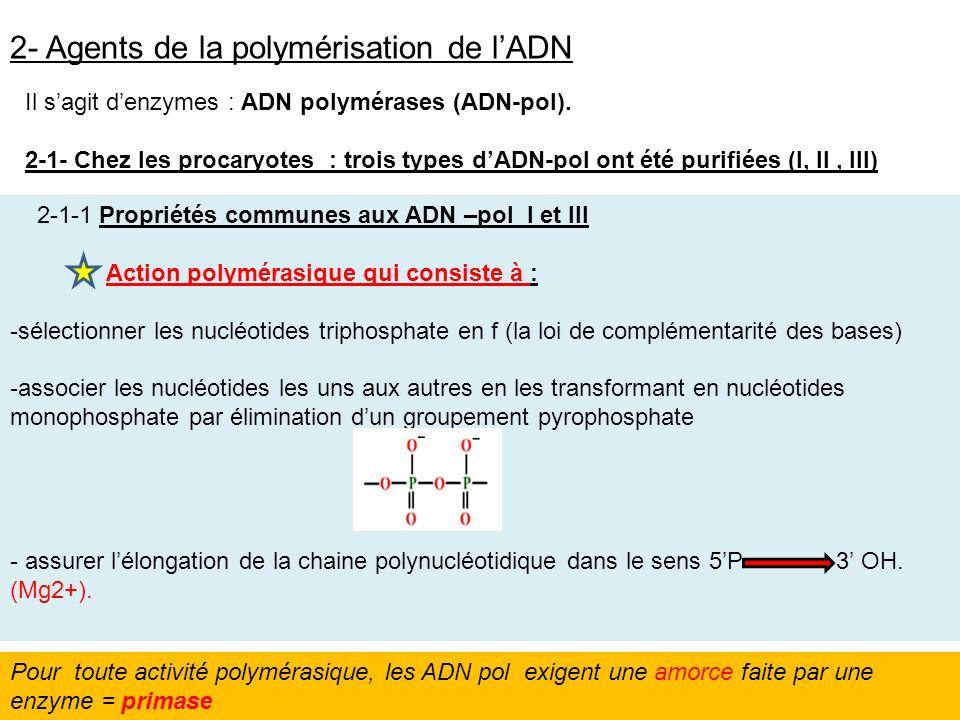 2- Agents de la polymérisation de l'ADN