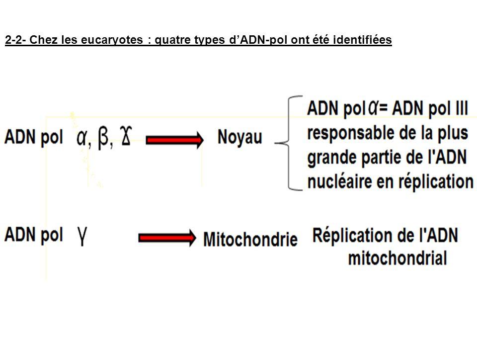 2-2- Chez les eucaryotes : quatre types d'ADN-pol ont été identifiées