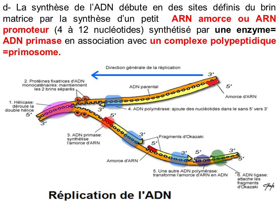 d- La synthèse de l'ADN débute en des sites définis du brin matrice par la synthèse d'un petit ARN amorce ou ARN promoteur (4 à 12 nucléotides) synthétisé par une enzyme= ADN primase en association avec un complexe polypeptidique =primosome.